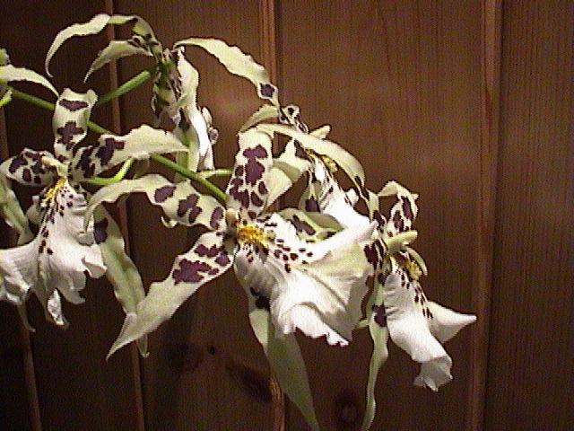 Fiche de culture de l 39 orchid e cambria la plan te des orchid es - Symbole de l orchidee ...