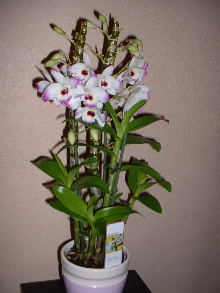 Toutes les variétés d orchidées