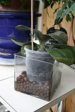 Fiche de culture de l 39 orchid e phalaenopsis la plan te - Entretien de l orchidee ...