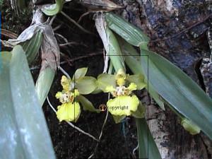 Orchidée épiphytes sympodiales
