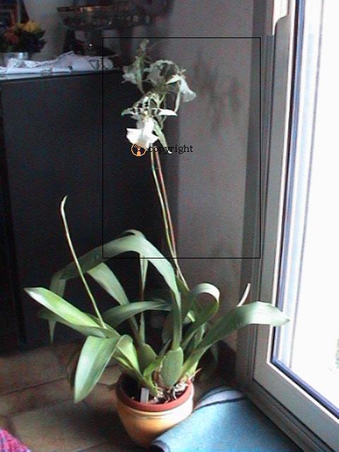 Fiche de culture de l 39 orchid e cambria la plan te des - Entretien de l orchidee ...