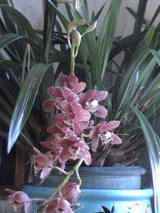 culture des orchid es cymbidium la plan te des orchid es. Black Bedroom Furniture Sets. Home Design Ideas