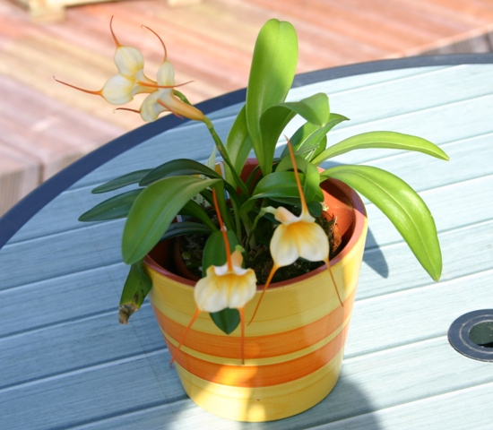 Fiche de culture de l 39 orchid e masdevallia la plan te - Entretien de l orchidee ...