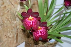 Fleur de Miltonia