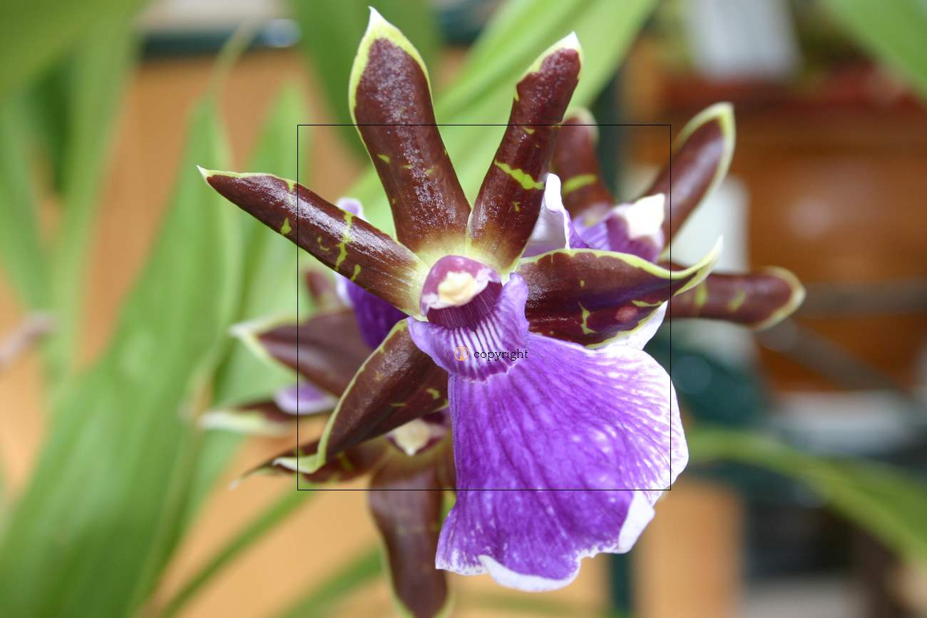 Fiche de culture de l 39 orchid e zigopetalum la plan te - Entretien de l orchidee ...