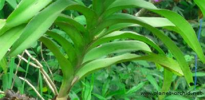 la vanda a besoin de lumière pour avoir des feuilles vertes