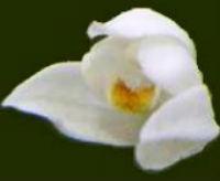 Cephalantera Longifolia