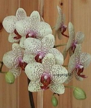 faire refleurir une orchid e phalaenopsis la plan te des. Black Bedroom Furniture Sets. Home Design Ideas