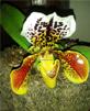 orchidée paphiopedilum hybride