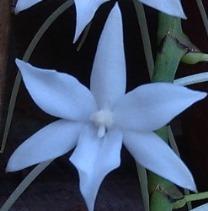 fleur aerangis articulata