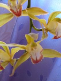 fleurs cymbidium lowianum