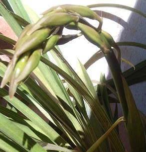 hampe florale cymbidium lowianum