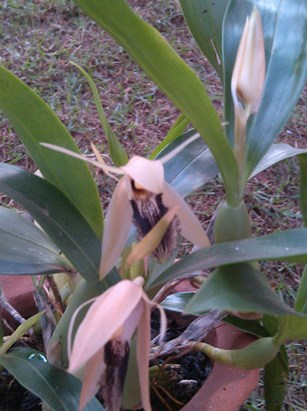 floraison 2015 coelogyne ovalis