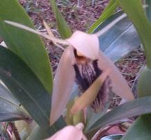 fleur coelogyne ovalis