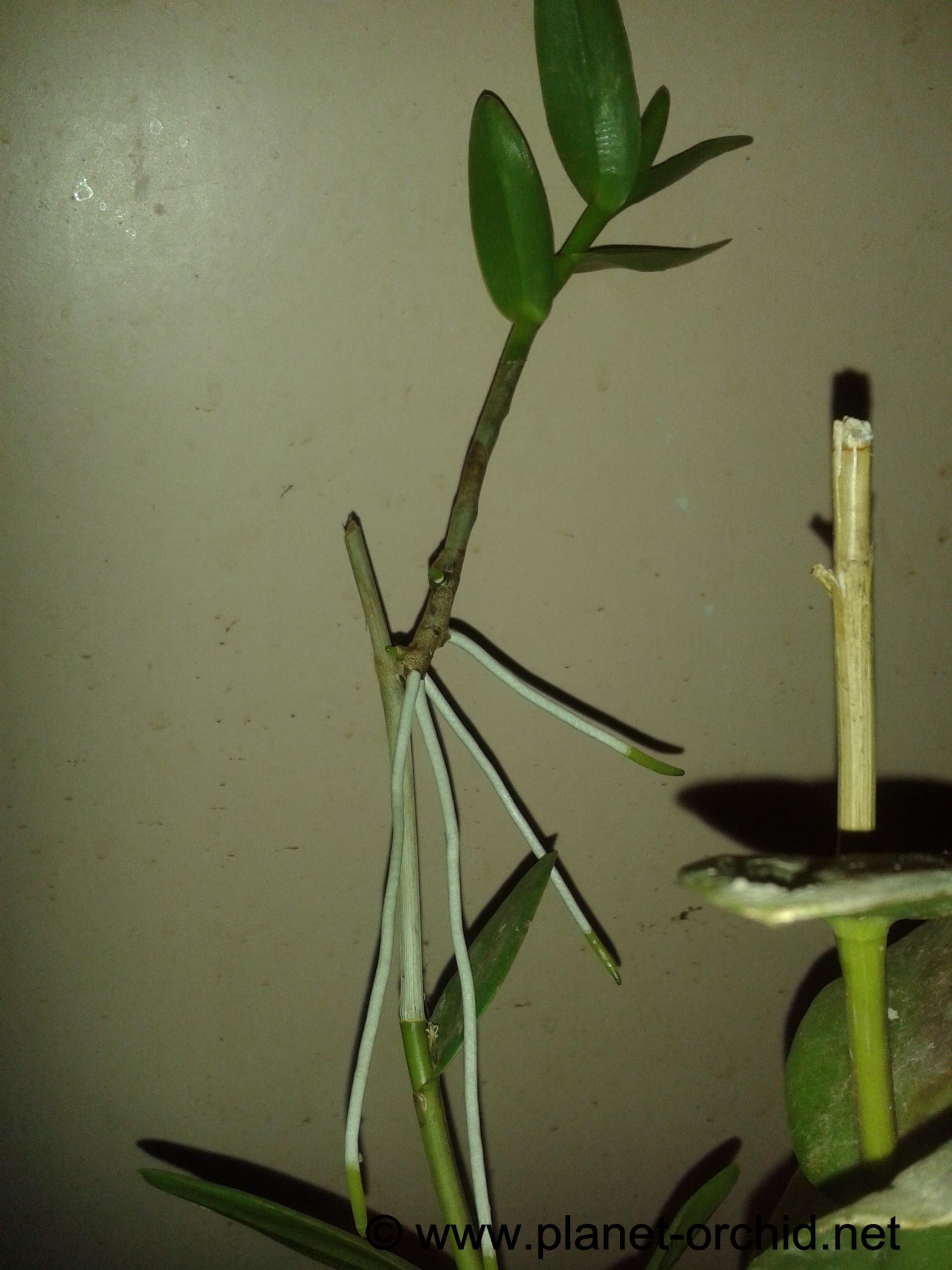 Comment Planter Une Orchidée rempotage keiki d'orchidée