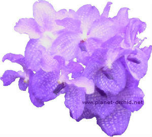 Fleurs de vanda coerulea