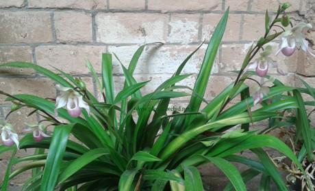 Phragmipedium Sedenii