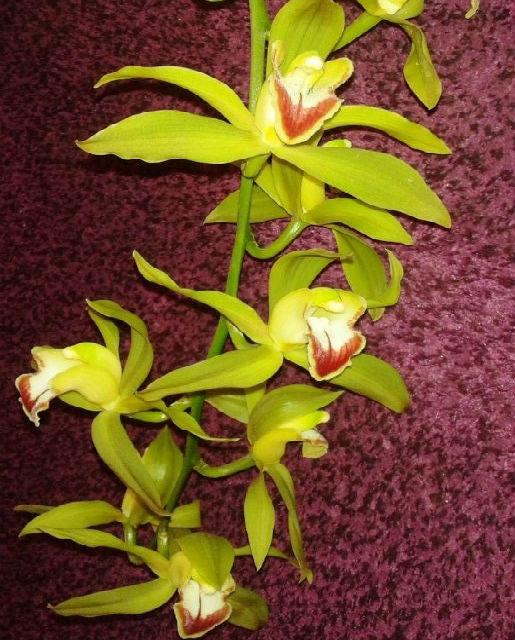 cymbidium en fleurs
